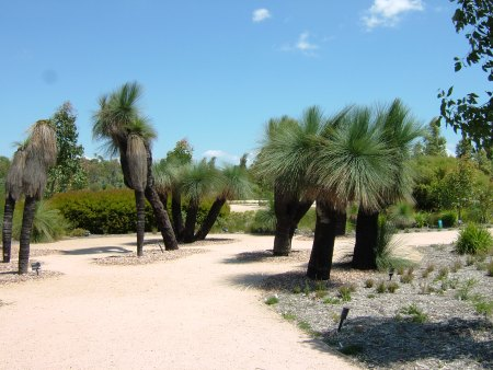 Grass-trees at The Australian Garden Cranbourne