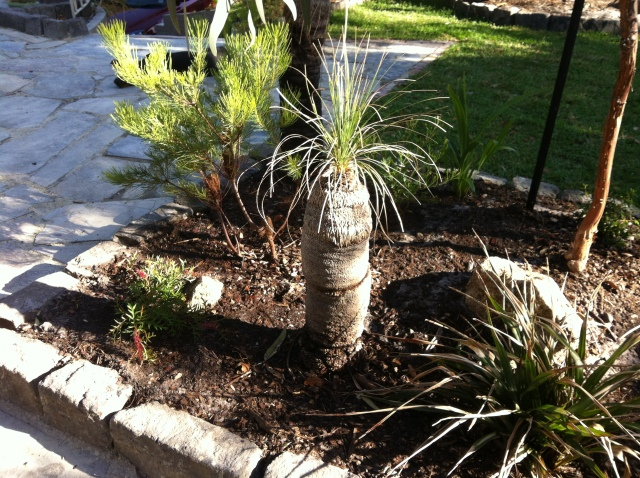 Our transplanted Xanthorrhoea looking good (so far....)