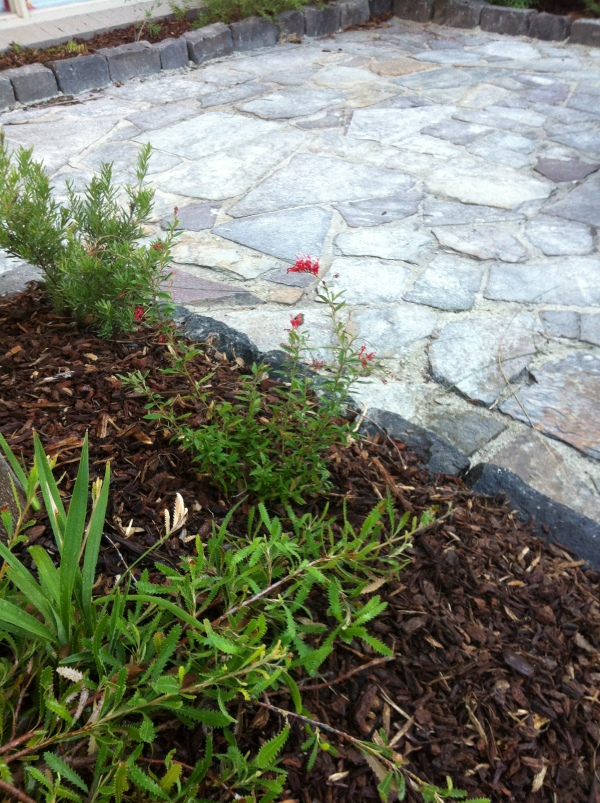 Recycling in the garden - Existing slate paving, recycled Bluestone and a transplanted Grevillea