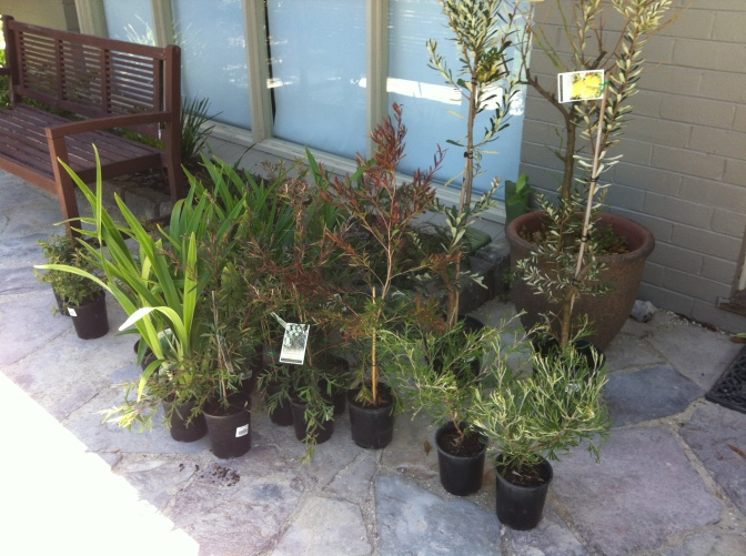 Our loot from the nursery before we put them in the garden - Leptospermum 'Copper Glow' is the middle plant.