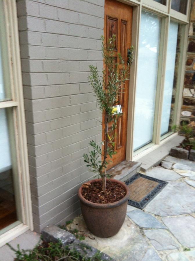 Potted Banksia marginata (Silver Banksia)