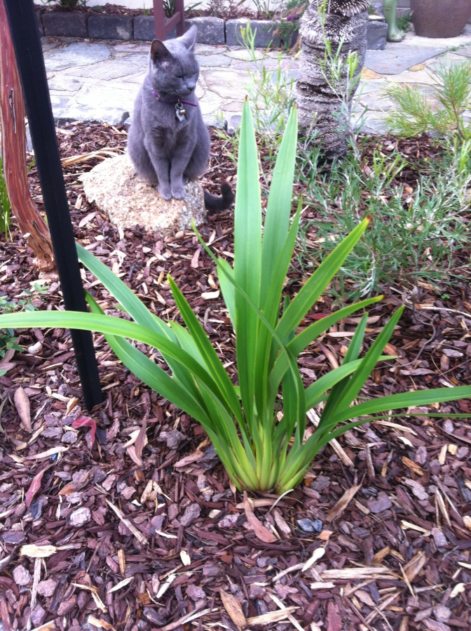 Our cat admires the Dianella tasmanica