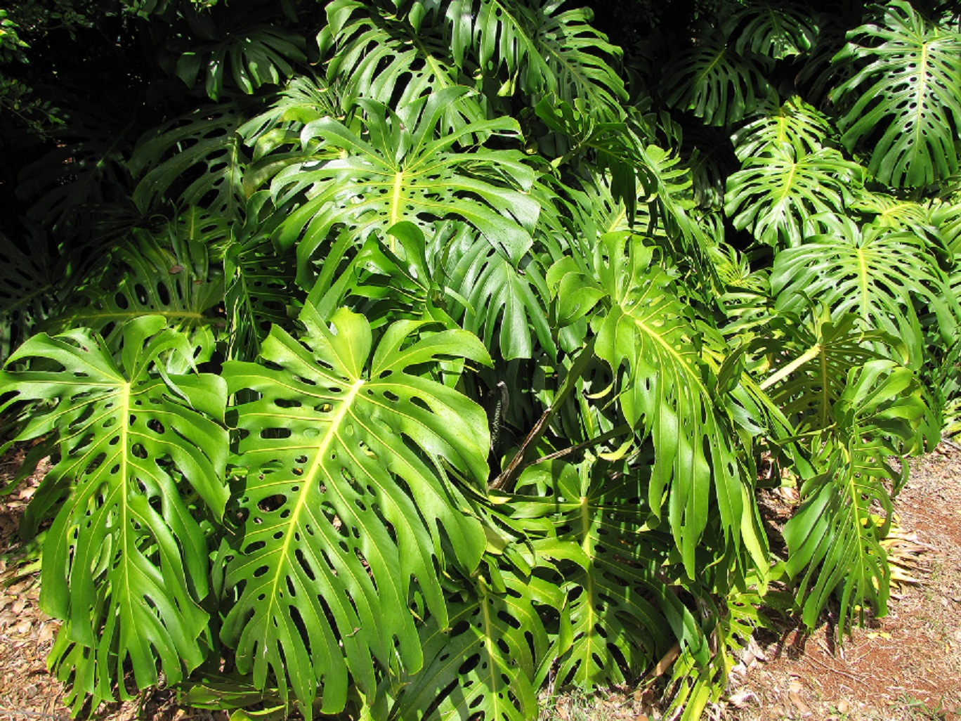 That s a monstera isn t it mcm plant id grass trees for Plante monstera