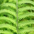 Ferns in Pots, Grows Great in Shady Spots | via IOTA Australia