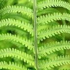 Ferns in Pots, Grows Great in Shady Spots | via IOTA Australia