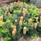 Glorious banksias, perfectly sized for your garden | Via GardenDrum