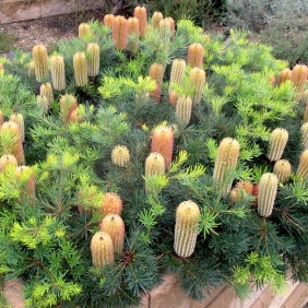 7a-banksia-cherry-candles-pic-taken-in-my-garden-planted-8-years-ago-1