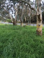 The Fight to save Significant Trees at Beaumaris High School